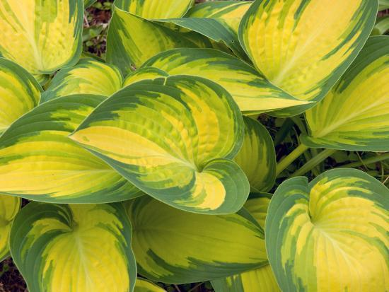 Hosta Plants with Decorative Yellow and Green Leaves-Darlyne A^ Murawski-Photographic Print