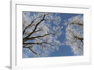 Hot-Air Balloon, Tree, Waltenhofen, Schwangau, Allgau, Bavaria, Germany-Rainer Mirau-Framed Photographic Print