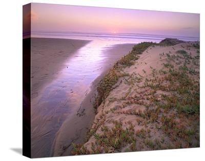Hottentot Fig growing in beach sand, Morro Strand State Beach, California-Tim Fitzharris-Stretched Canvas Print
