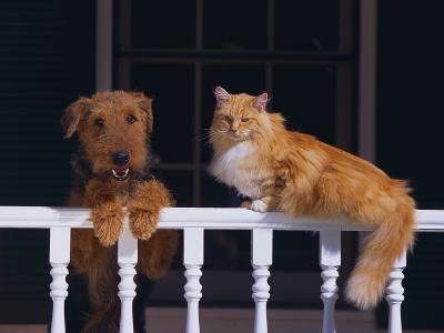 House Cat and Airedale Terrier-DLILLC-Photographic Print