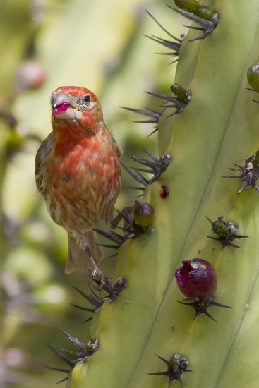 House Finch Eats Cactus Fruit-Hal Beral-Photographic Print