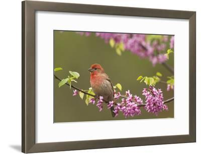 House Finch Male in Redbud Tree, Spring