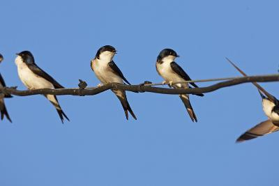 House Martins (Delichon Urbicum) Perched on Wire, with Another in Flight, Extremadura, Spain, April-Varesvuo-Photographic Print