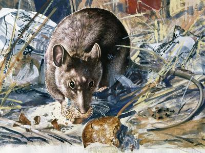 House Mouse (Mus Musculus), Muridae, Drawing--Giclee Print