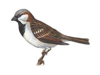 House or English Sparrow (Passer Domesticus), Birds-Encyclopaedia Britannica-Art Print