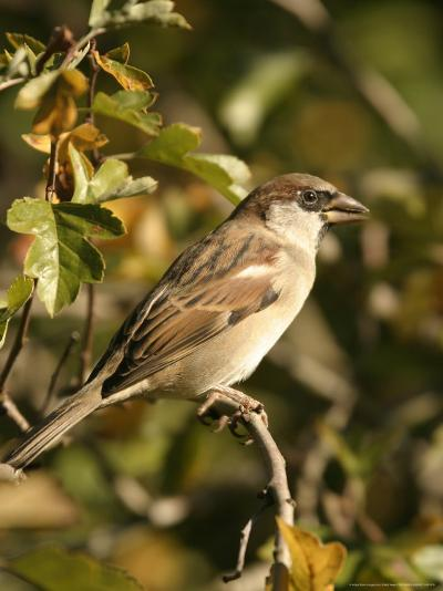 House Sparrow, Male Perching, Middlesex-Elliot Neep-Photographic Print