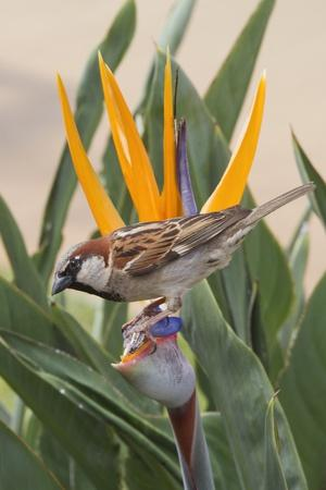 House Sparrow on Bird of Paradise-Hal Beral-Photographic Print