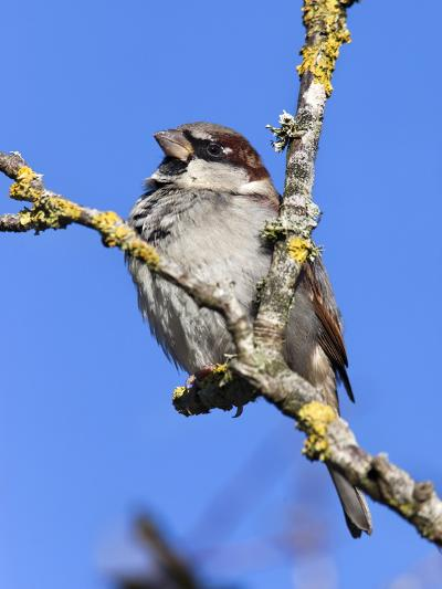 House Sparrow (Passer Domesticus), United Kingdom, Europe-Ann & Steve Toon-Photographic Print