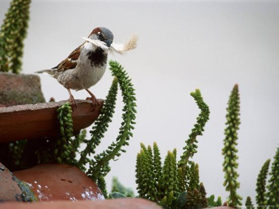 House Sparrow, with Nesting Material, Spain-Olaf Broders-Photographic Print