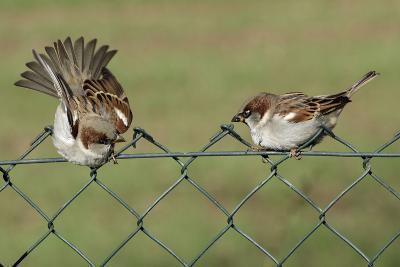 House Sparrows 2 Males Fighting on Garden Fence--Photographic Print