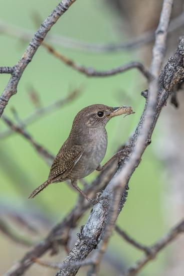 House Wren Perching on the Branch of a Tree with a Grasshopper in its Mouth-Tom Murphy-Photographic Print