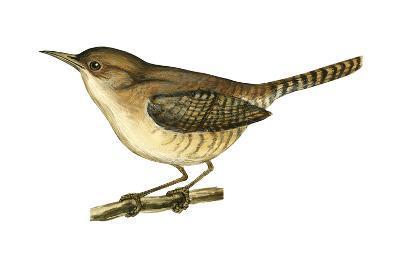 House Wren (Troglodytes Aedon), Birds-Encyclopaedia Britannica-Art Print