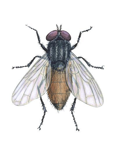 Housefly (Musca Domestica), Insects-Encyclopaedia Britannica-Art Print