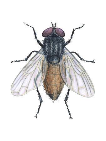 https://imgc.artprintimages.com/img/print/housefly-musca-domestica-insects_u-l-q135jd70.jpg?p=0