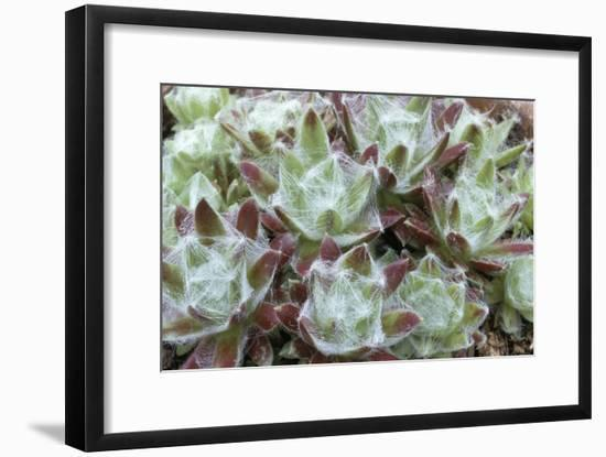 Houseleek Rosettes-Archie Young-Framed Photographic Print