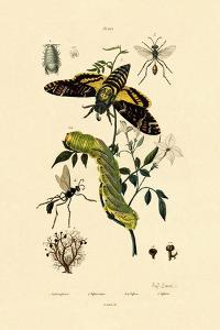 Hoverfly, 1833-39