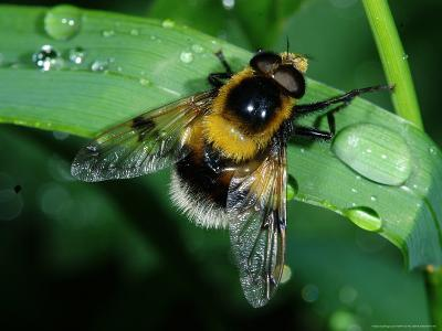 Hoverfly, Adult Resting on Wet Leaf, Cambridgeshire, UK-Keith Porter-Photographic Print