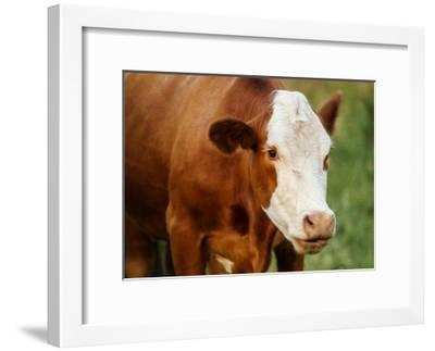 Hovey Cow 6-Tanya Hovey-Framed Giclee Print