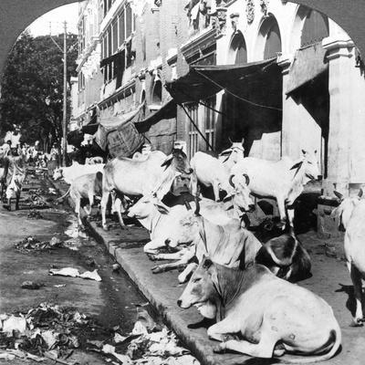 https://imgc.artprintimages.com/img/print/how-hindu-cows-enjoy-life-on-harrison-street-calcutta-india-1900s_u-l-q10lyoz0.jpg?p=0