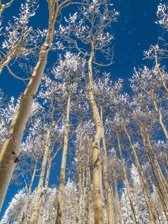 Snow Covered Trees in the Wintery Rocky Mountains, Colorado