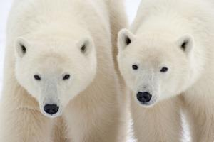 A Pair of Polar Bears by Howard Ruby
