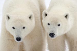 A Pair of Polar Bears by Howard Ruby