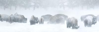 Bisons in Blizzard by Howard Ruby