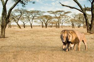 Bonding Lions Walk by Howard Ruby