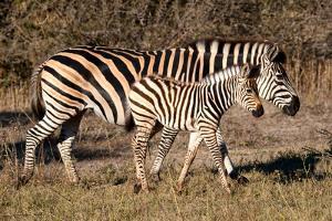 Burchell's Zebra by Howard Ruby