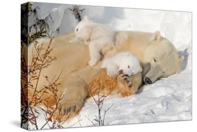 Cub Chewing on Mom‰Ûªs Paw