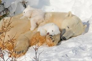 Cub Chewing on Mom‰Ûªs Paw by Howard Ruby