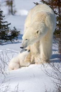 Cub Looking Up to Mother by Howard Ruby