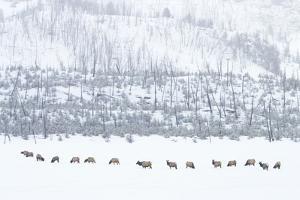 Elk in Snowstorm by Howard Ruby