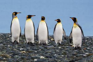 Four King Penguins by Howard Ruby