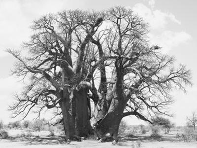 Great Tree by Howard Ruby