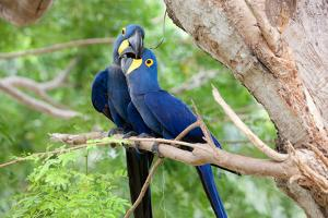 Hyacinth Macaw Love by Howard Ruby