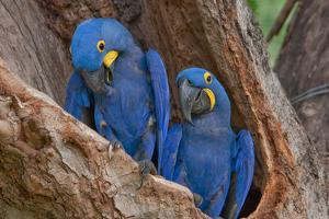 Hyacinth Macaws in a Tree by Howard Ruby