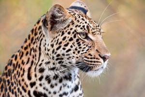 Leopard by Howard Ruby