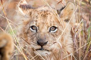 Lion Cub by Howard Ruby