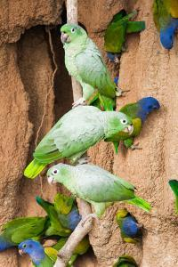 Mealy Parrots at Clay-Lick by Howard Ruby