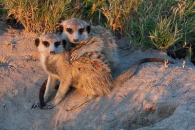 Meerkat Love