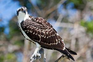 Osprey, Yucatan, Mexico by Howard Ruby