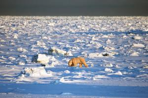 Polar Bear on Hudson Bay Ice by Howard Ruby