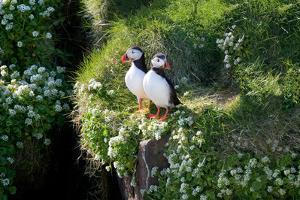 Puffin Couple Guarding their Nest by Howard Ruby