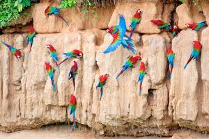 Red-And-Green Macaws at Clay-Lick by Howard Ruby