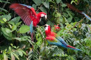 Red-And-Green Macaws in a Tree by Howard Ruby