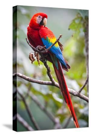 Scarlet Macaw on a Branch
