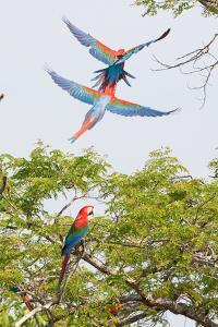 Scarlet Macaws in Flight by Howard Ruby