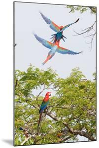 Scarlet Macaws in Flight by Howard Ruby