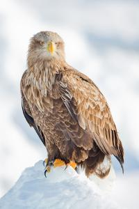 Snow Hawk by Howard Ruby